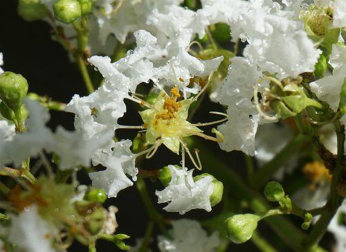 rain-wet crepe myrtle crepe myrtle flower