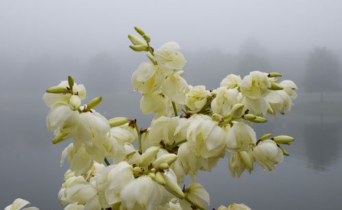 rain-wet yucca flowers morning fog fog