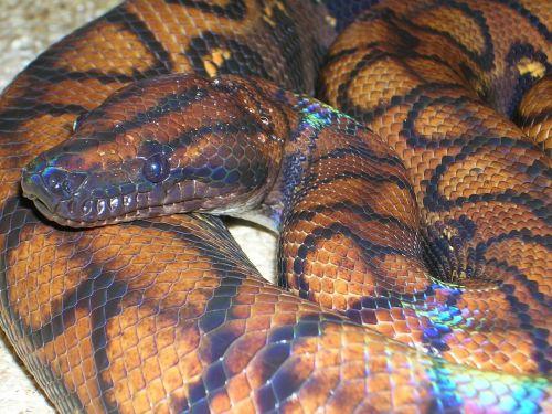 rainbow boa constrictor boa