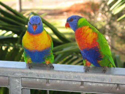 vaivorykštė lorikeet,paukštis,lorikeet,spalvinga,laukinė gamta,gamta,spalvos,australia,atogrąžų,plunksnos