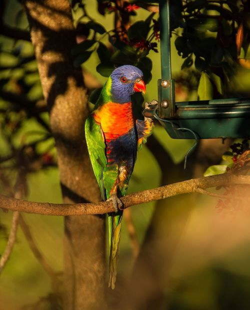 rainbow lorikeet parrot colourful
