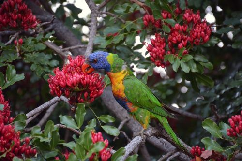 rainbow lorikeet colorful bird