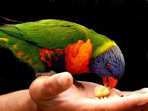 rainbow lorikeet  bird  hand feeding bird
