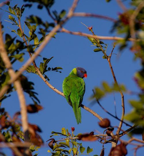 rainbow lorikeet parrot colourful
