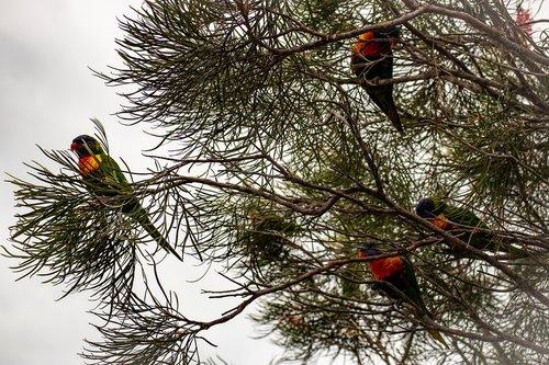 rainbow lorikeets  rainbow lory  lorikeet