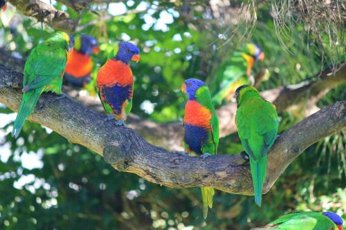 rainbow lorikeets birds colourful