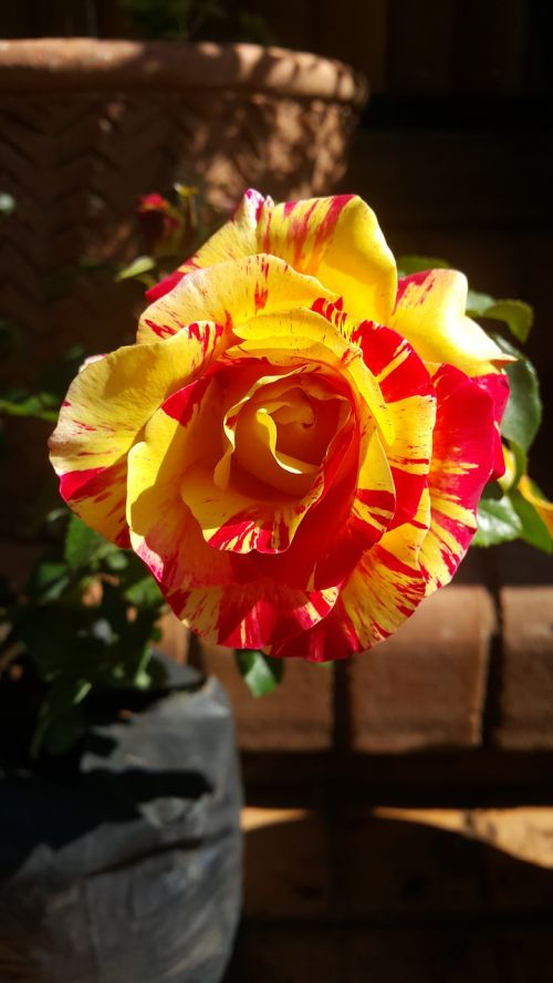 rainbow nation rose flower