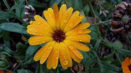 raindrop  marigold  summer