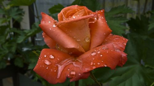 raindrop rose after the rain
