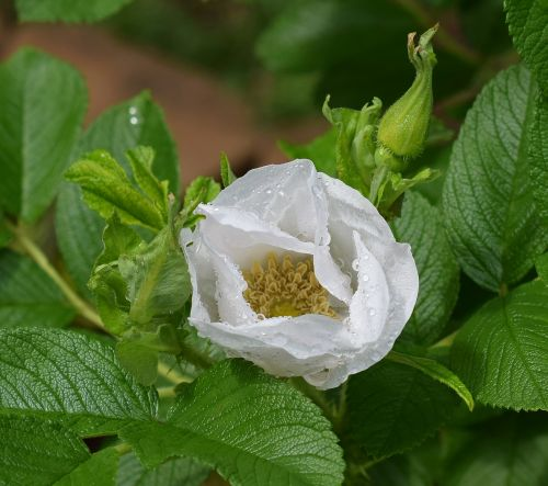 raindrops on rose rose rain