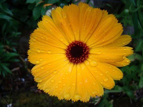 Raindrops On Yellow Flower 2
