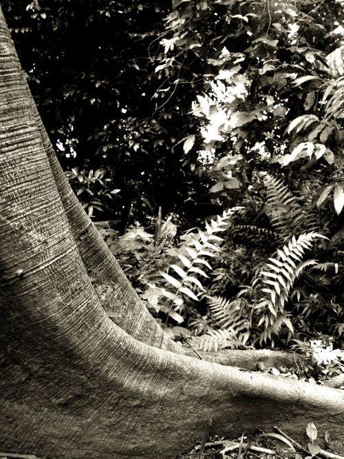 medis, atogrąžų, šaknis, miškas, atogrąžų miškai, gamta, papartis, atogrąžų miško šaknys i
