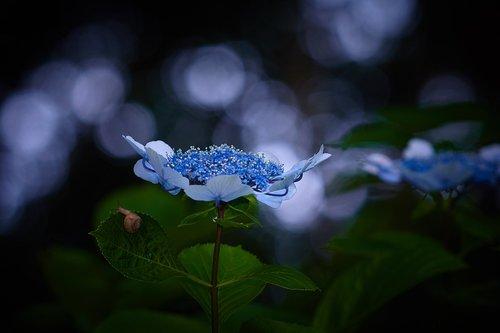 rainy season  sunbeams  hydrangea