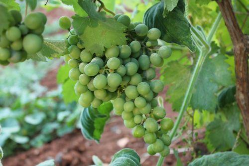 raisin bunch of grapes görükle