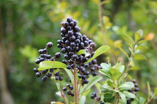 raisin  black  forest