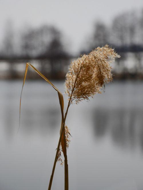 Reeds - Detail