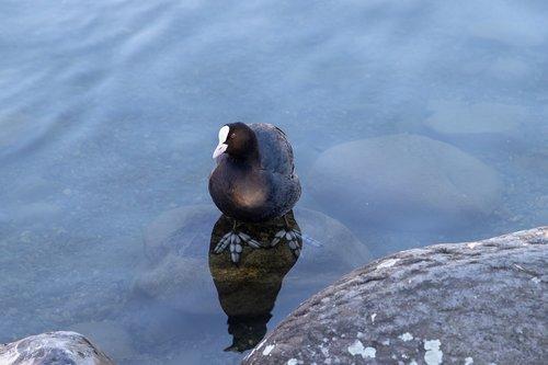ralle  taucherli  water bird