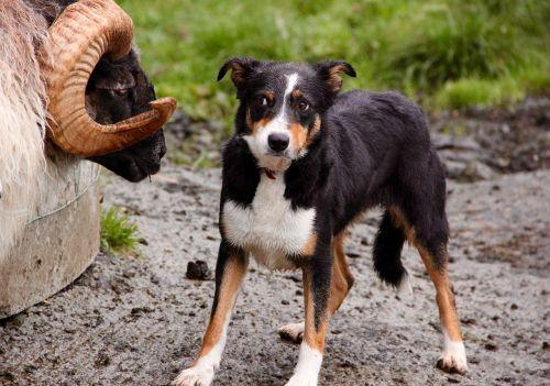 ram sheepdog standoff
