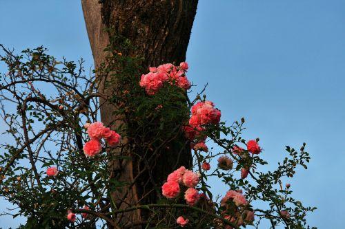 Rambling Rose Against Dead Tree
