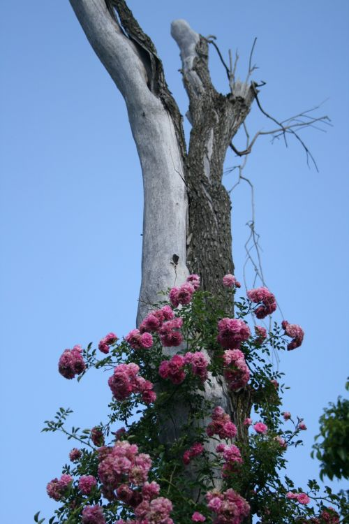 Rambling Rose On Tree Trunk Support