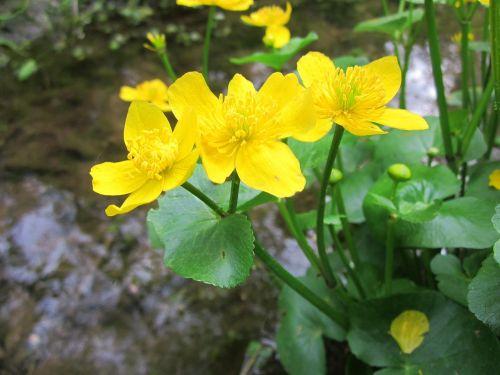 ranunculaceae wildflower yellow