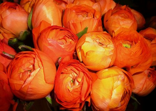 ranunculus flowers flower