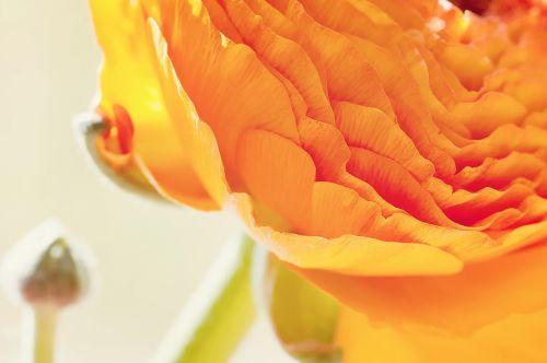 ranunculus,gėlė,žiedas,žydėti,žiedlapiai,oranžinė,intensyvi spalva,pavasario gėlė,schnittblume,Uždaryti