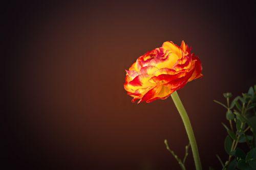 ranunculus flower yellow orange
