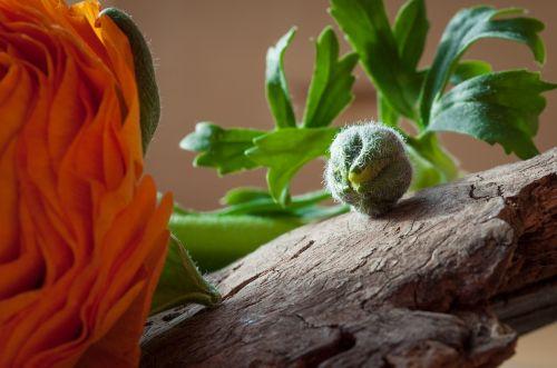 ranunculus flower bud