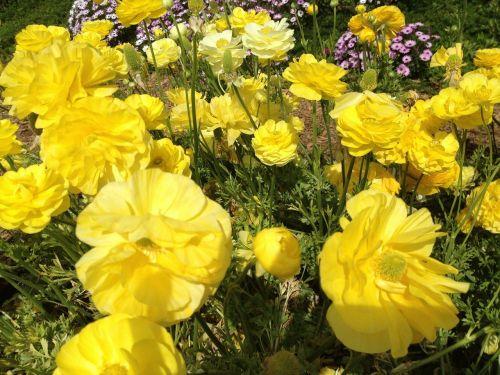 ranunculus flowers nature