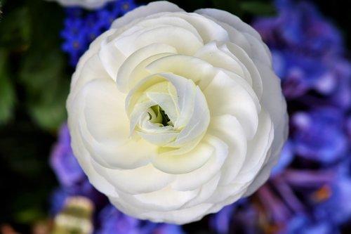 ranunculus  ranunculus flower  blossom
