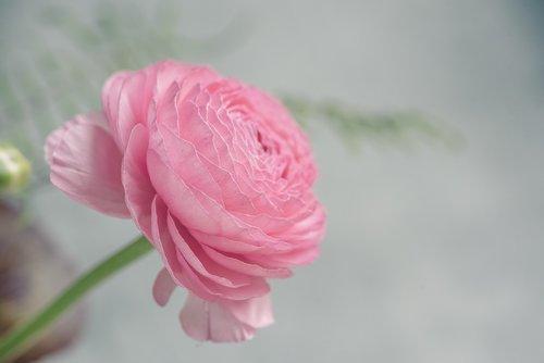ranunculus  pink  pink ranunkel