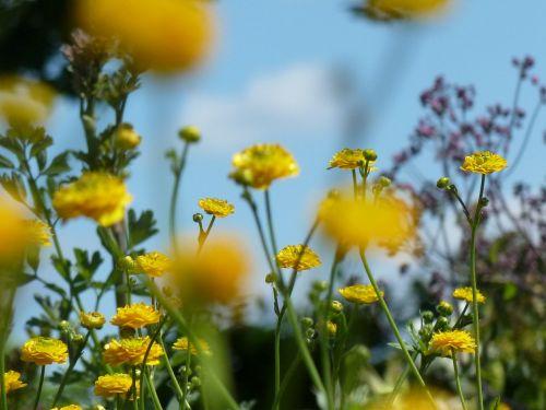 ranunculus yellow spring