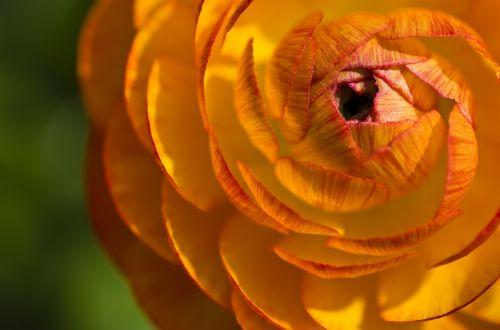 ranunculus flower blossom