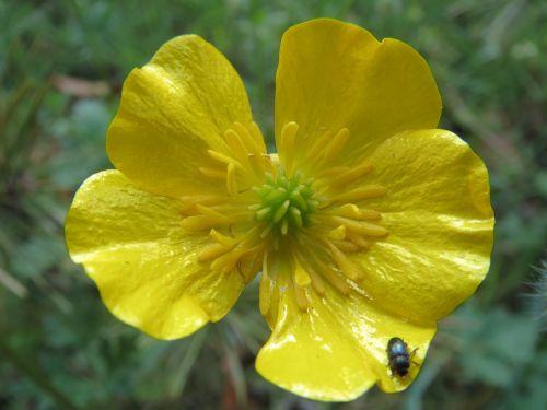 ranunculus acris meadow buttercup tall buttercup