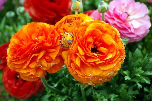 ranunculus blossoms  ranunculus  bloom