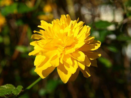 ranunculus bush flower ranunkel shrub yellow