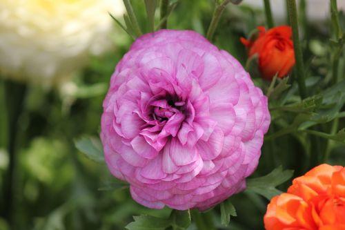 ranunculus flower ranunculus blossom