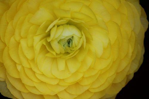 ranunculus flower vibrant yellow ranunculus flower