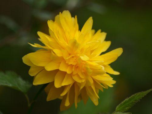ranunkel shrub ranunculus flower ranunculus