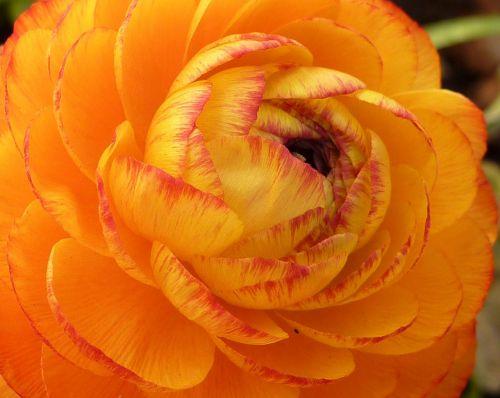 ranunkeln buttercup frühlingsblüher