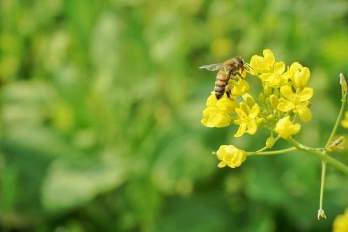 rape bee spring