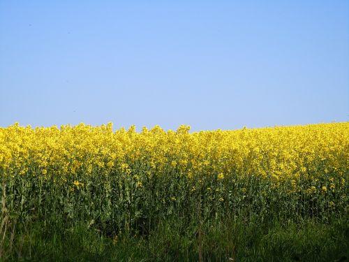 rape blossom field of rapeseeds farbenpracht