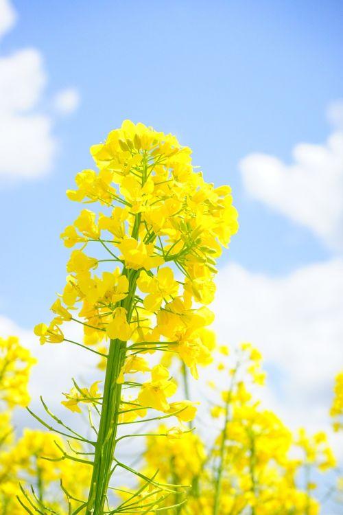 rape blossom inflorescence oilseed rape