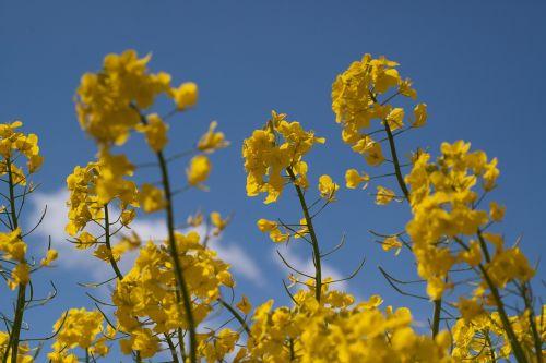 rape blossom oilseed rape yellow