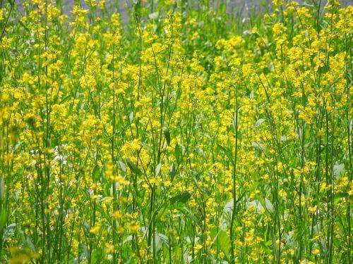 rape blossoms spring plant