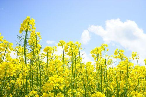 rape blossoms inflorescence oilseed rape