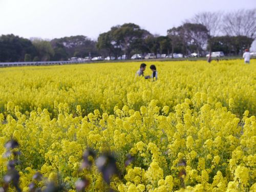rape blossoms,spring,huang