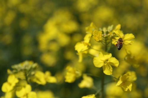 rape flowers bee march
