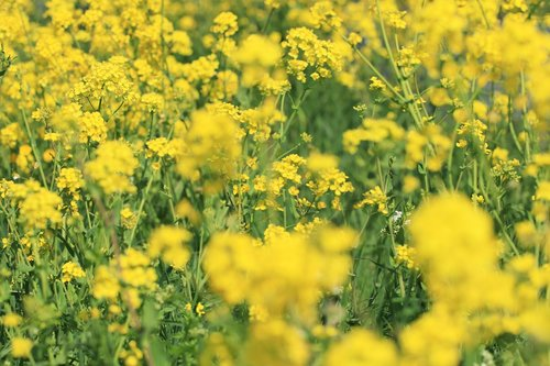 rape or colza seeds  wild flowers  wild indigenous plant